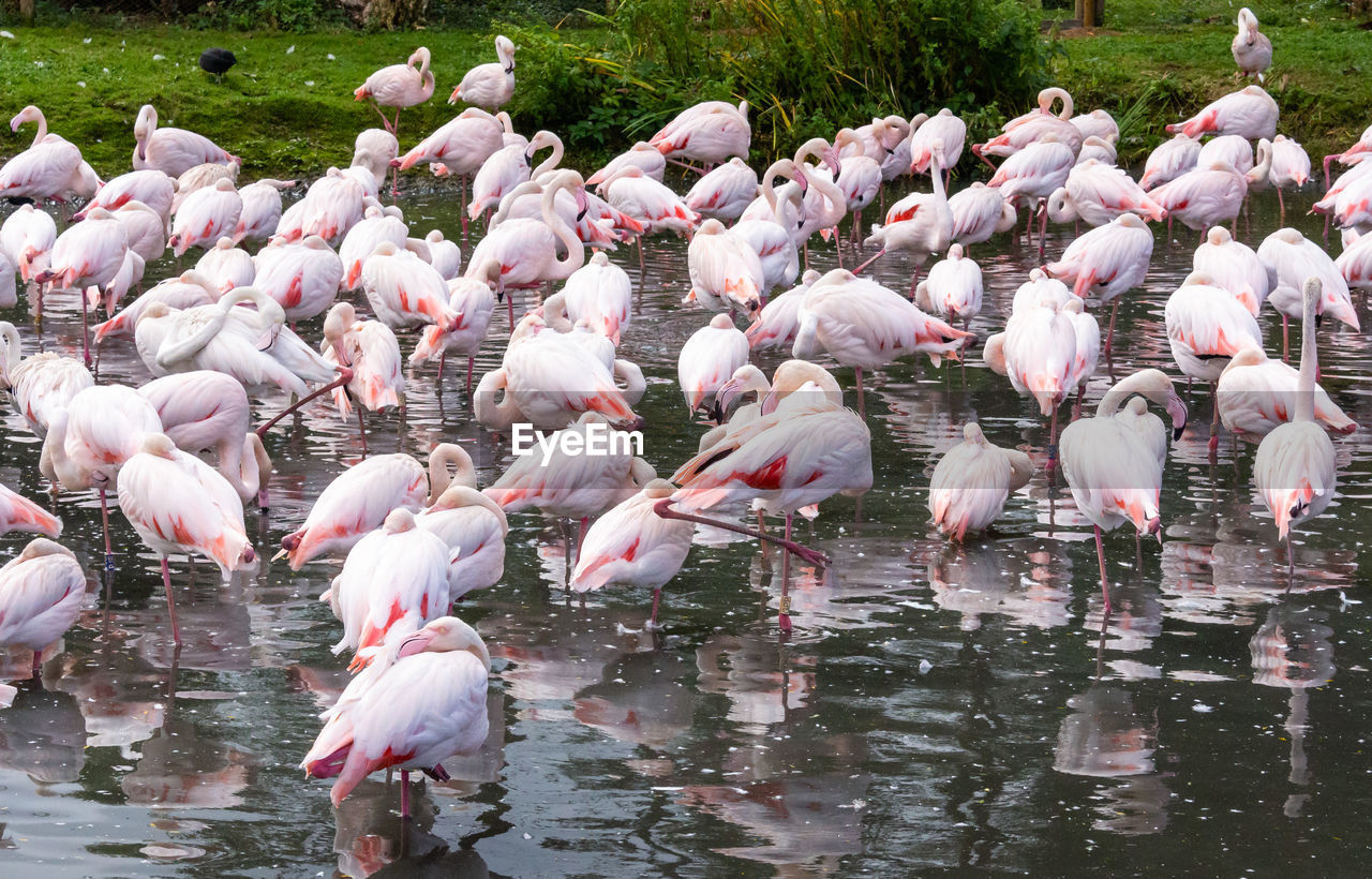 animals in the wild, animal wildlife, bird, animal, vertebrate, group of animals, animal themes, water, large group of animals, flamingo, lake, no people, day, pink color, nature, beauty in nature, reflection, flock of birds, outdoors, freshwater bird, animal neck