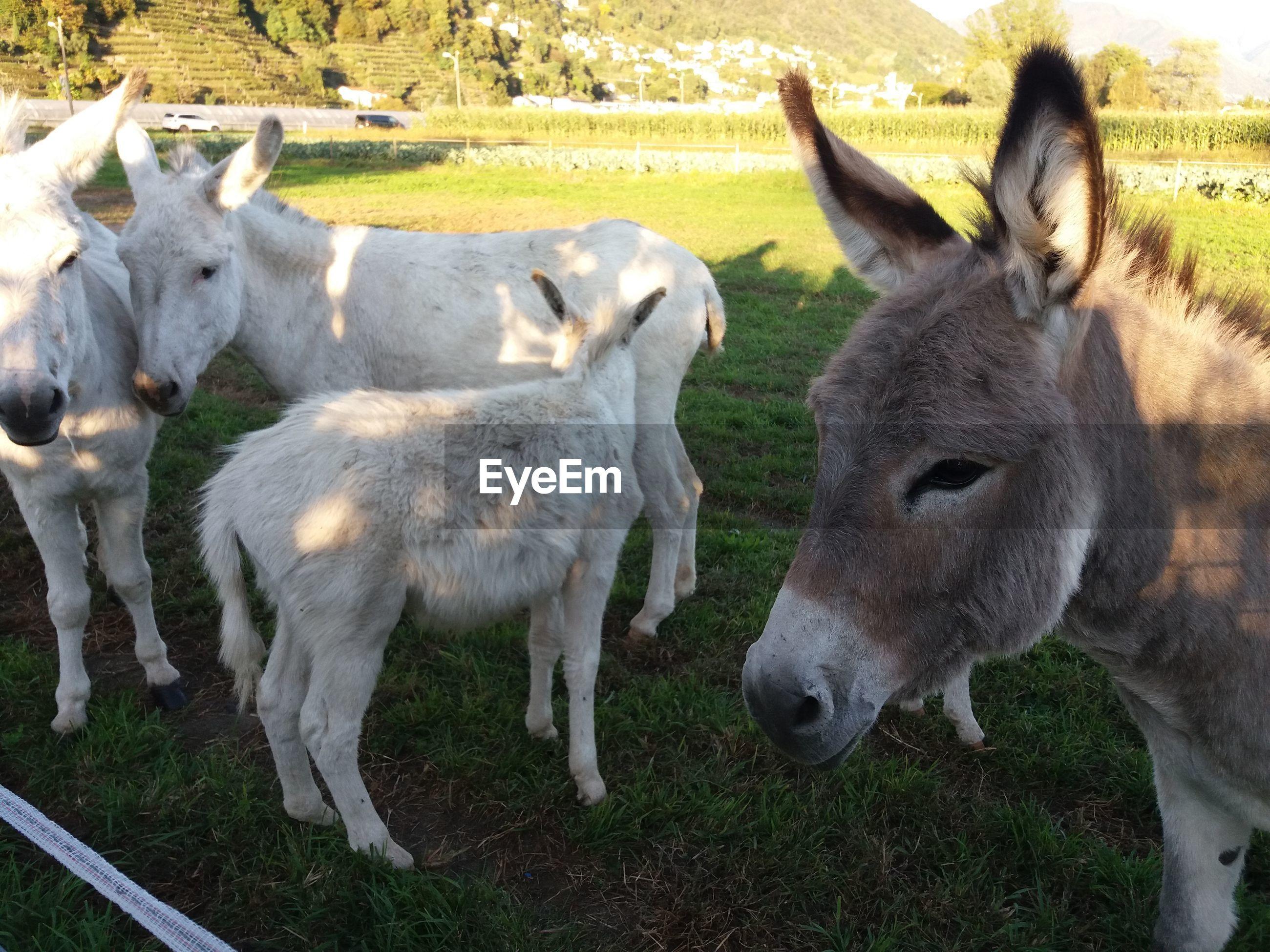 Donkey on field