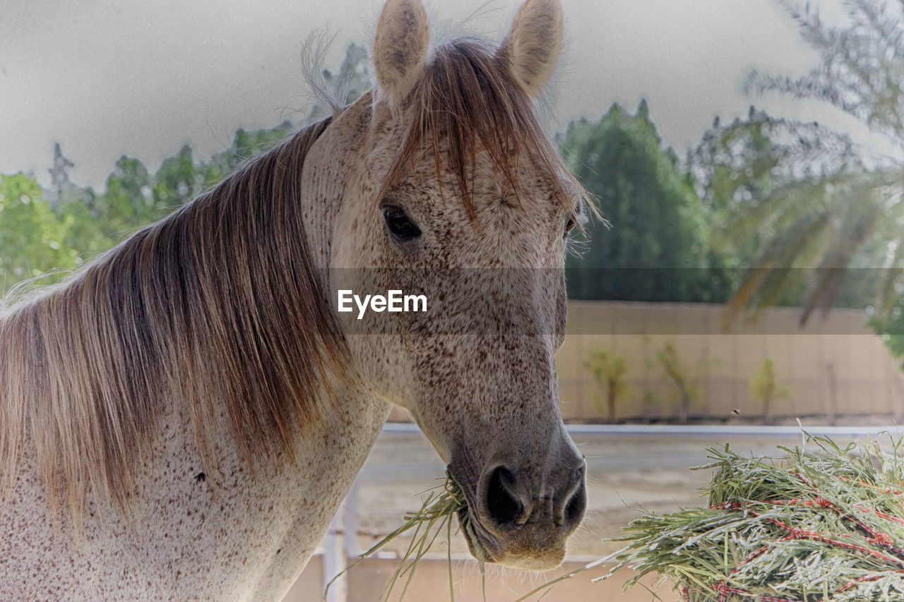 horse, animal themes, one animal, mammal, domestic animals, day, outdoors, livestock, tree, no people, nature, close-up, grass, sky