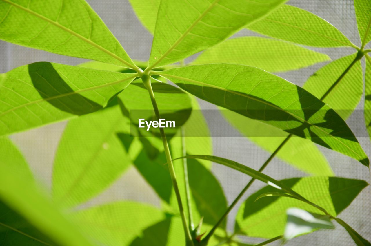 green color, plant part, leaf, plant, growth, nature, close-up, no people, day, beauty in nature, selective focus, outdoors, leaf vein, freshness, pattern, backgrounds, sunlight, natural pattern, herb, high angle view, leaves, brightly lit