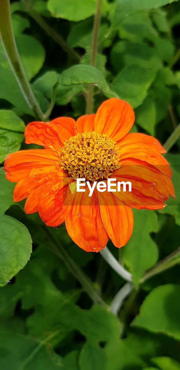 flowering plant, flower, freshness, plant, fragility, petal, vulnerability, beauty in nature, flower head, inflorescence, growth, close-up, orange color, plant part, leaf, pollen, nature, no people, focus on foreground, orange