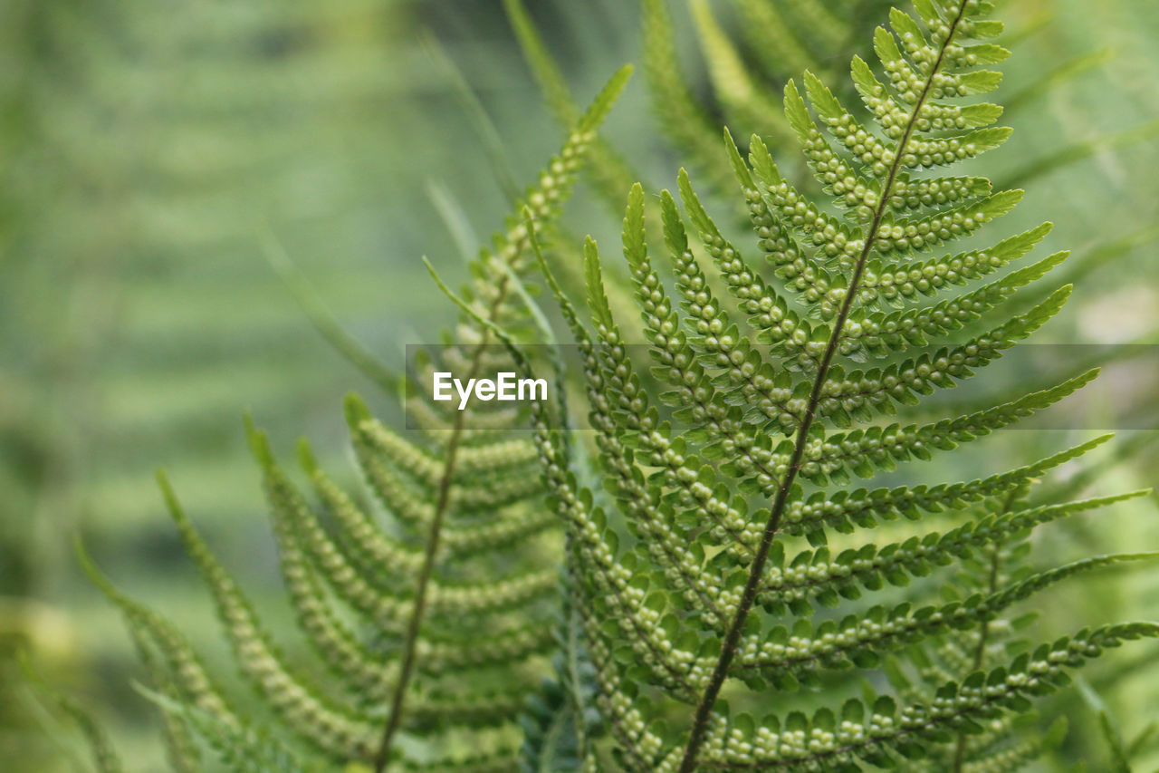 leaf, green color, nature, growth, close-up, day, no people, fragility, beauty in nature, freshness, plant, focus on foreground, outdoors, fern