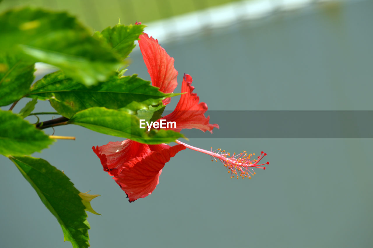 leaf, red, autumn, change, maple leaf, fragility, nature, beauty in nature, no people, green color, maple, close-up, day, growth, outdoors, branch, freshness, hibiscus