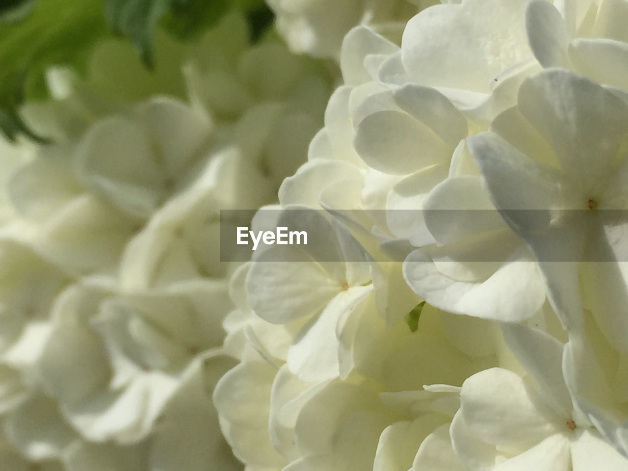 flower, petal, beauty in nature, nature, flower head, fragility, white color, close-up, no people, freshness, plant, full frame, blooming, growth, day, outdoors
