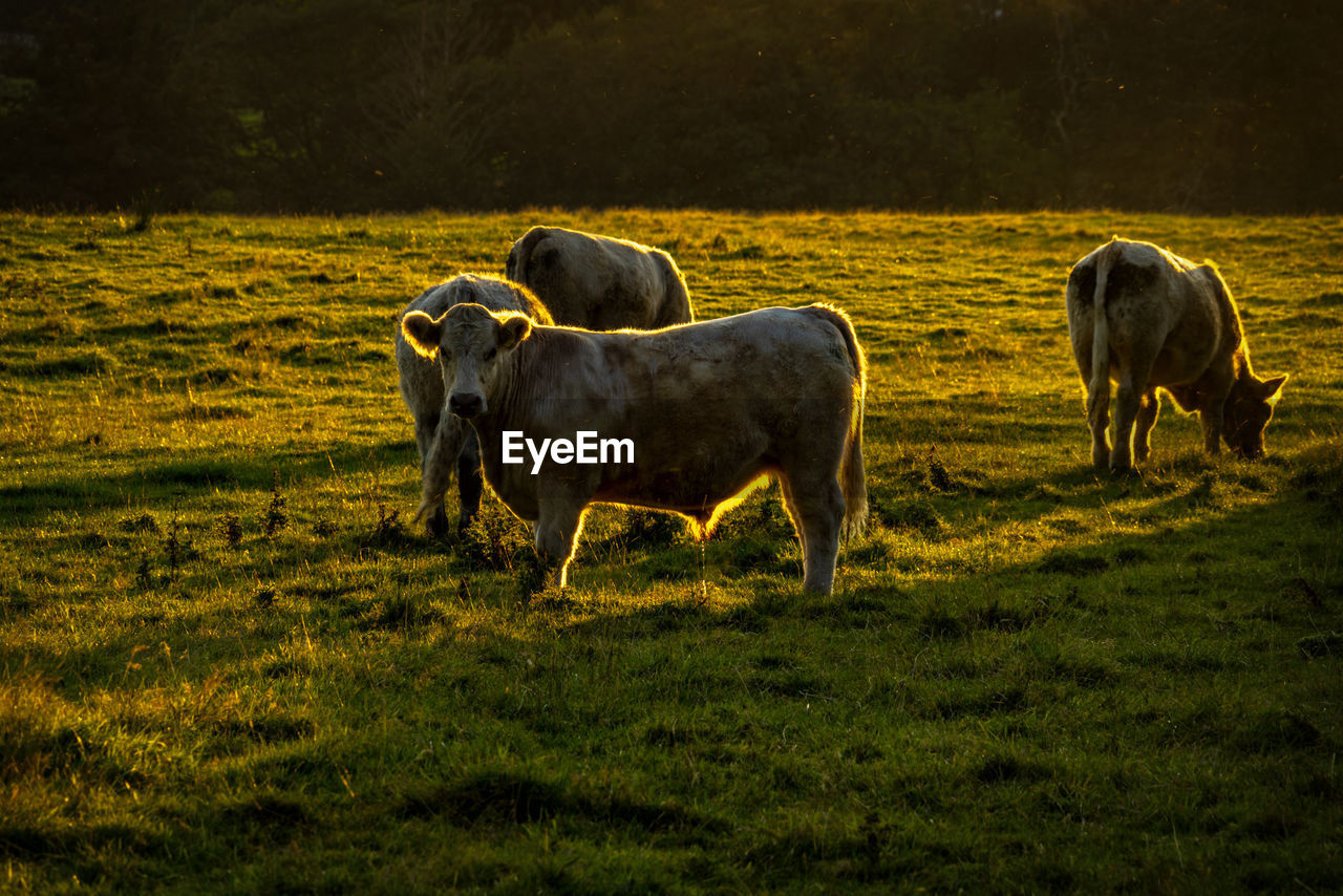 animal, animal themes, mammal, domestic animals, land, group of animals, grass, domestic, plant, livestock, vertebrate, field, pets, animal wildlife, cattle, no people, standing, nature, cow, landscape, outdoors, herbivorous
