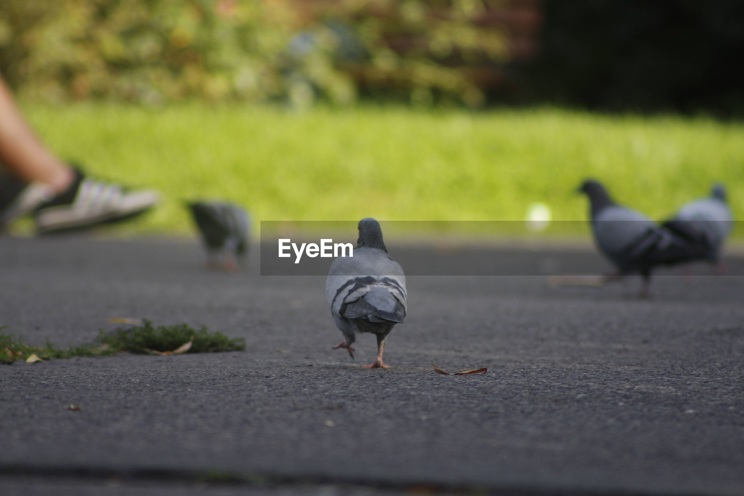 Pigeons on footpath in park