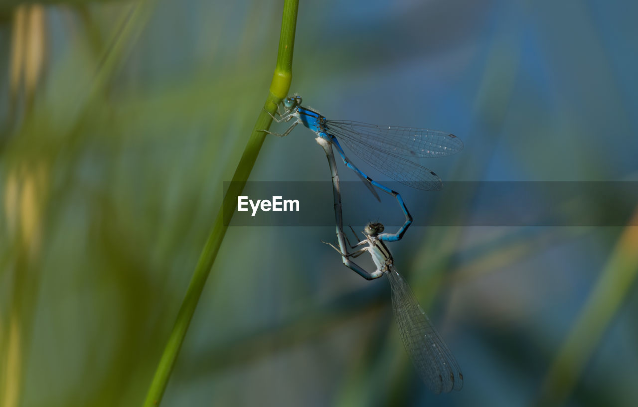 insect, invertebrate, animals in the wild, animal themes, animal wildlife, animal, plant, damselfly, one animal, close-up, day, animal wing, selective focus, nature, green color, focus on foreground, blue, no people, dragonfly, grass, outdoors, blade of grass