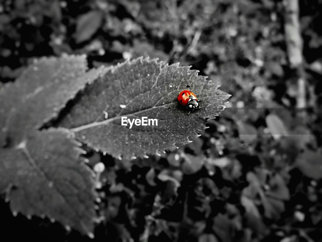insect, invertebrate, animals in the wild, animal, animal themes, animal wildlife, one animal, close-up, beetle, ladybug, plant part, leaf, day, red, nature, selective focus, no people, outdoors, focus on foreground, high angle view