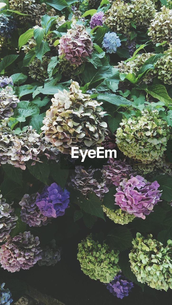 flower, flowering plant, plant, freshness, beauty in nature, fragility, vulnerability, leaf, plant part, growth, nature, no people, day, flower head, inflorescence, high angle view, close-up, green color, petal, hydrangea, purple, outdoors, bunch of flowers, lilac, flowerbed