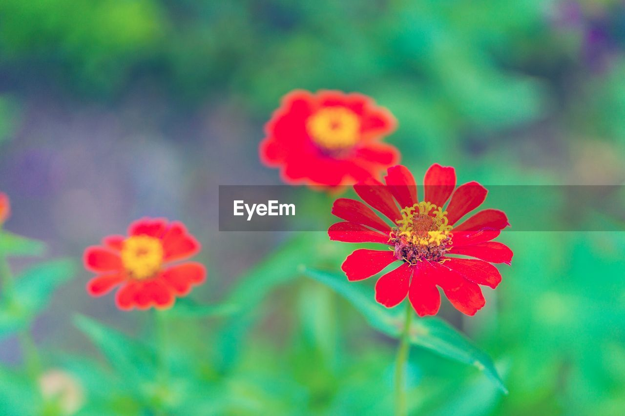 flower, nature, beauty in nature, petal, freshness, flower head, fragility, growth, blooming, no people, plant, focus on foreground, outdoors, day, park - man made space, green color, zinnia, close-up, red