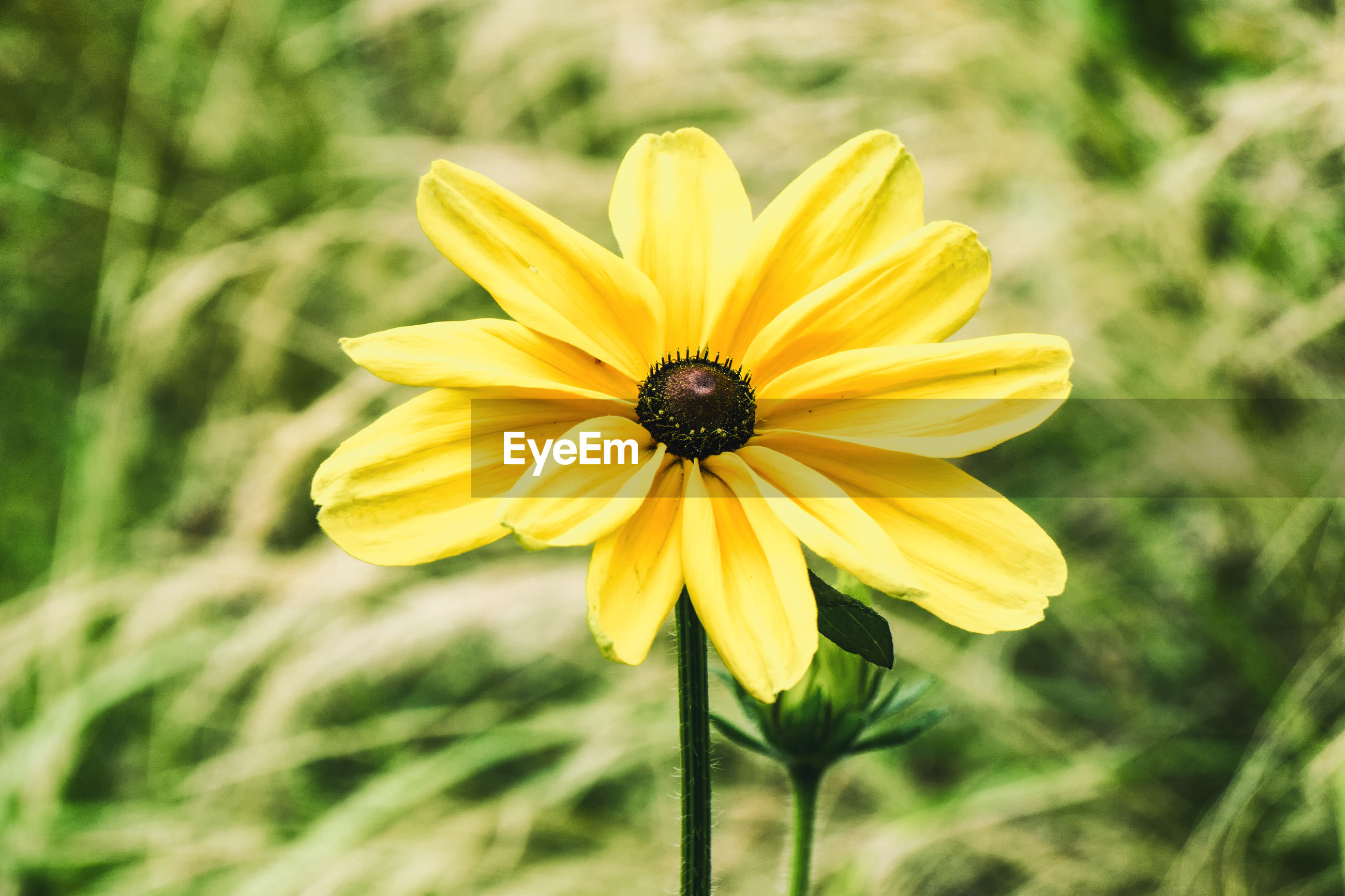 CLOSE-UP OF FRESH YELLOW FLOWER BLOOMING OUTDOORS