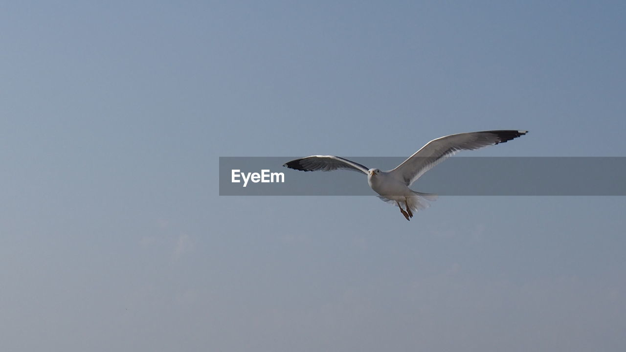 animals in the wild, animal wildlife, vertebrate, animal themes, flying, animal, bird, sky, spread wings, low angle view, copy space, clear sky, no people, nature, day, one animal, mid-air, seagull