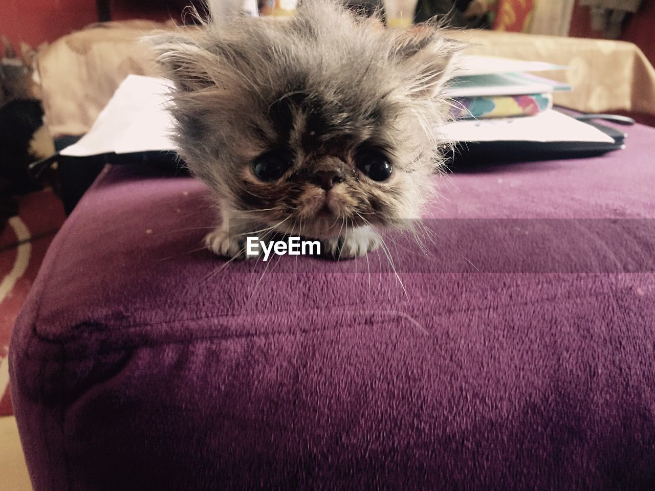 pets, domestic cat, domestic animals, mammal, one animal, animal themes, feline, indoors, whisker, persian cat, close-up, no people, kitten, day