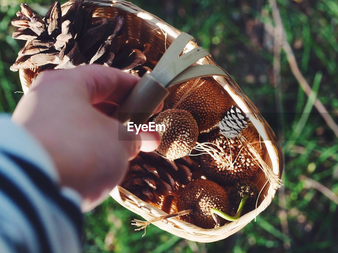 Close-Up Of Hand Carrying Pine Cones In Basket