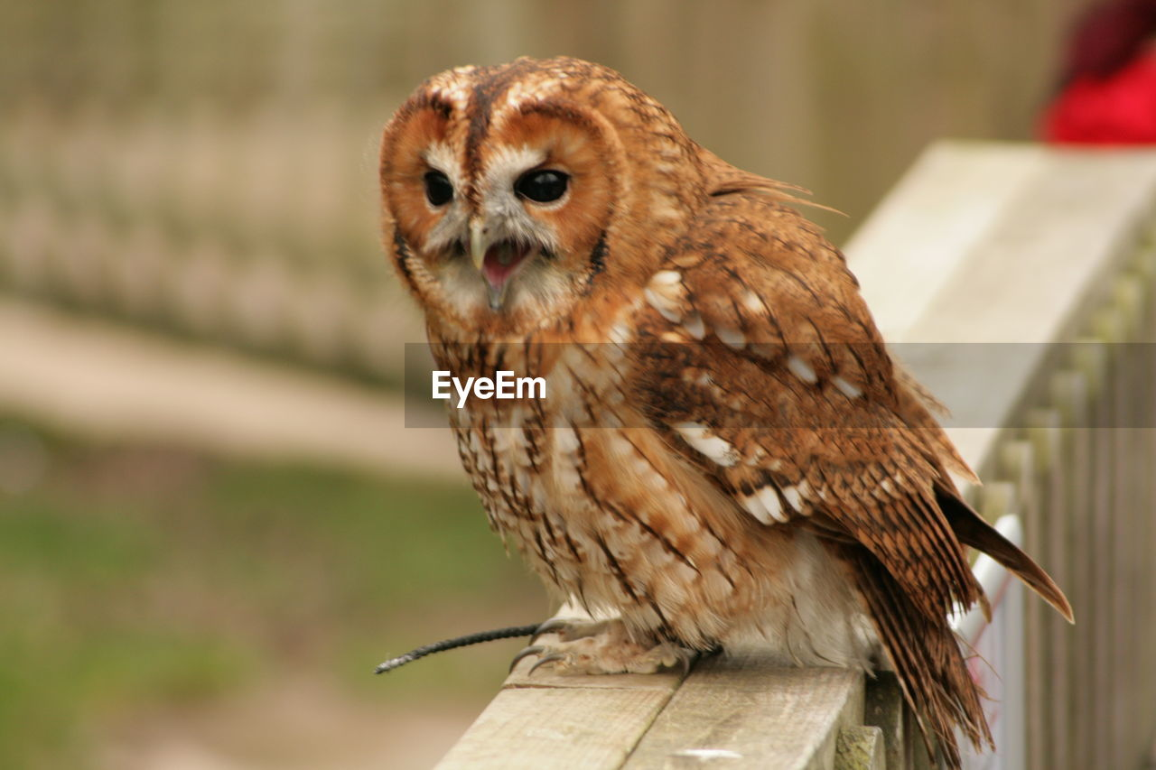 one animal, animal themes, bird, animals in the wild, animal wildlife, focus on foreground, outdoors, perching, close-up, day, owl, no people, bird of prey, nature, mammal