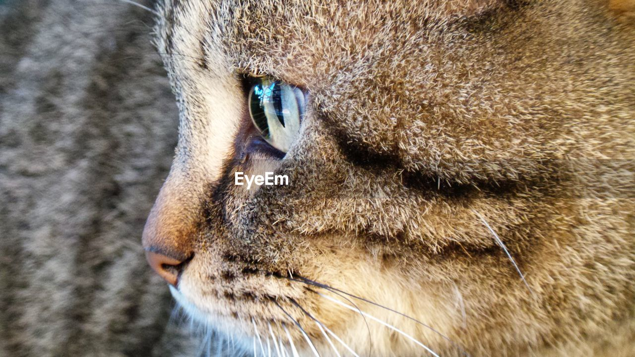 animal themes, mammal, animal, one animal, cat, feline, close-up, animal body part, domestic animals, pets, animal head, domestic cat, vertebrate, whisker, eye, domestic, no people, animal eye, looking away, looking, animal nose