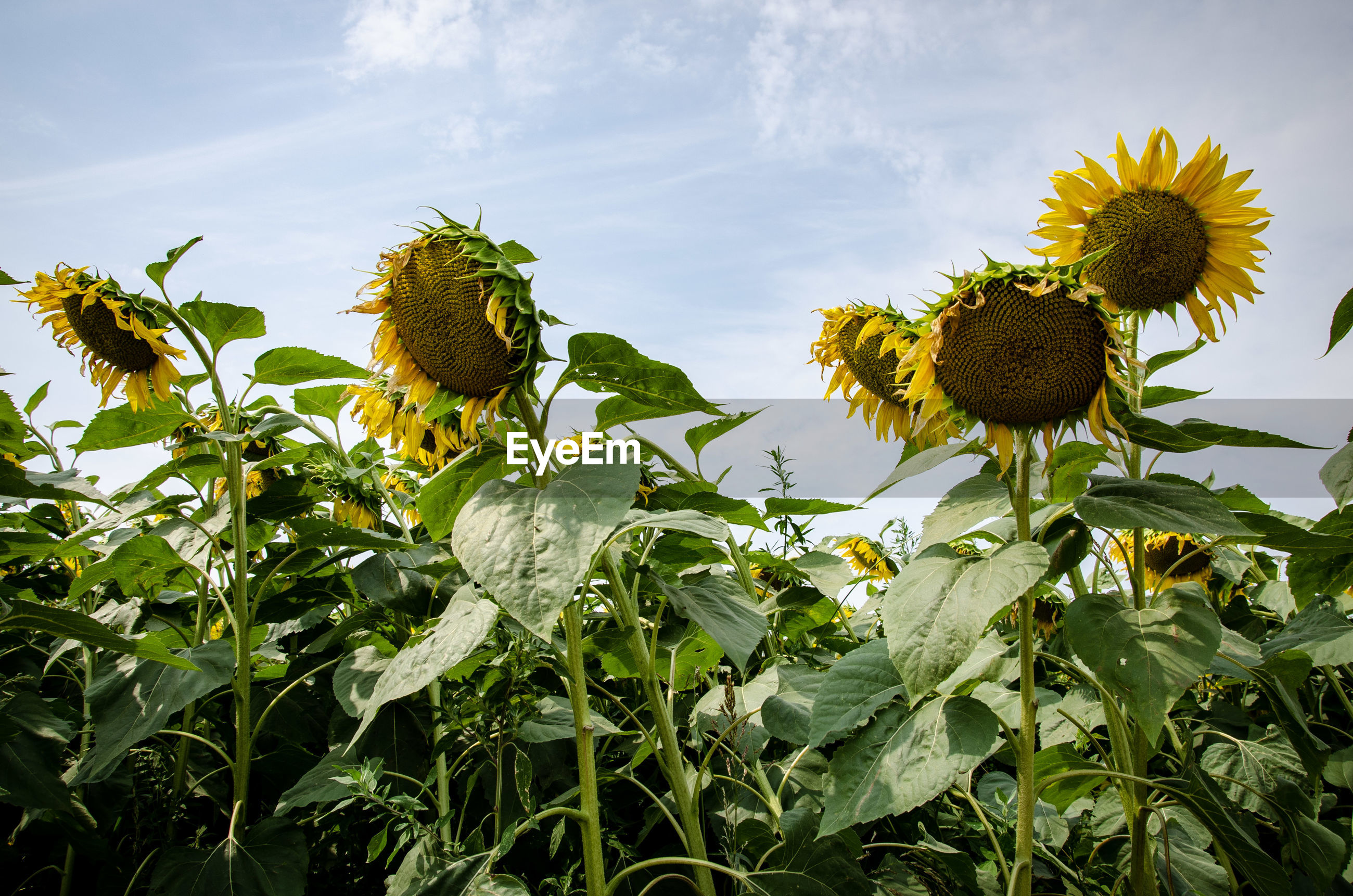 LOW ANGLE VIEW OF SUNFLOWER ON PLANT