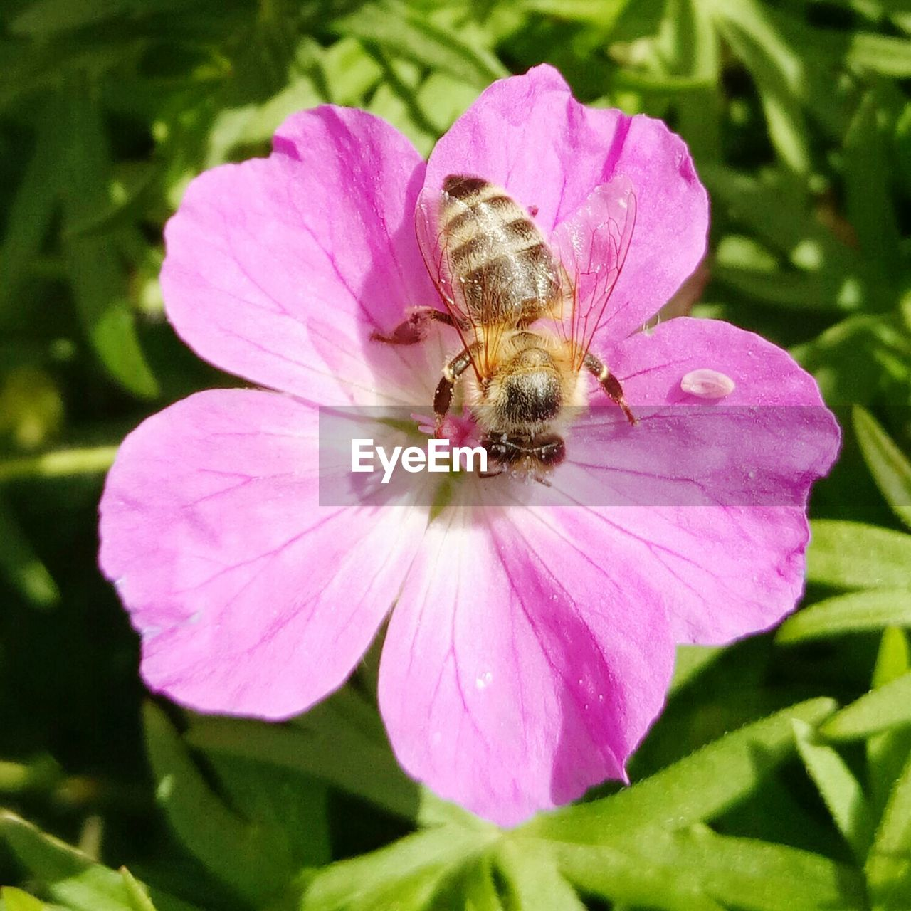 flower, one animal, petal, nature, fragility, growth, plant, animal themes, insect, freshness, beauty in nature, animals in the wild, flower head, day, outdoors, no people, leaf, bee, pink color, animal wildlife, close-up, pollination, blooming