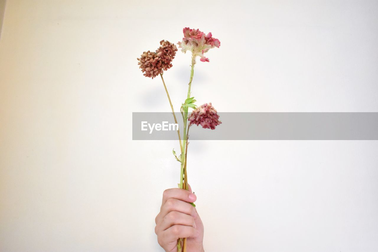 flower, flowering plant, vulnerability, holding, fragility, plant, white background, freshness, one person, copy space, beauty in nature, studio shot, close-up, nature, indoors, petal, plant stem, human body part, hand, human hand, flower head, finger, human limb