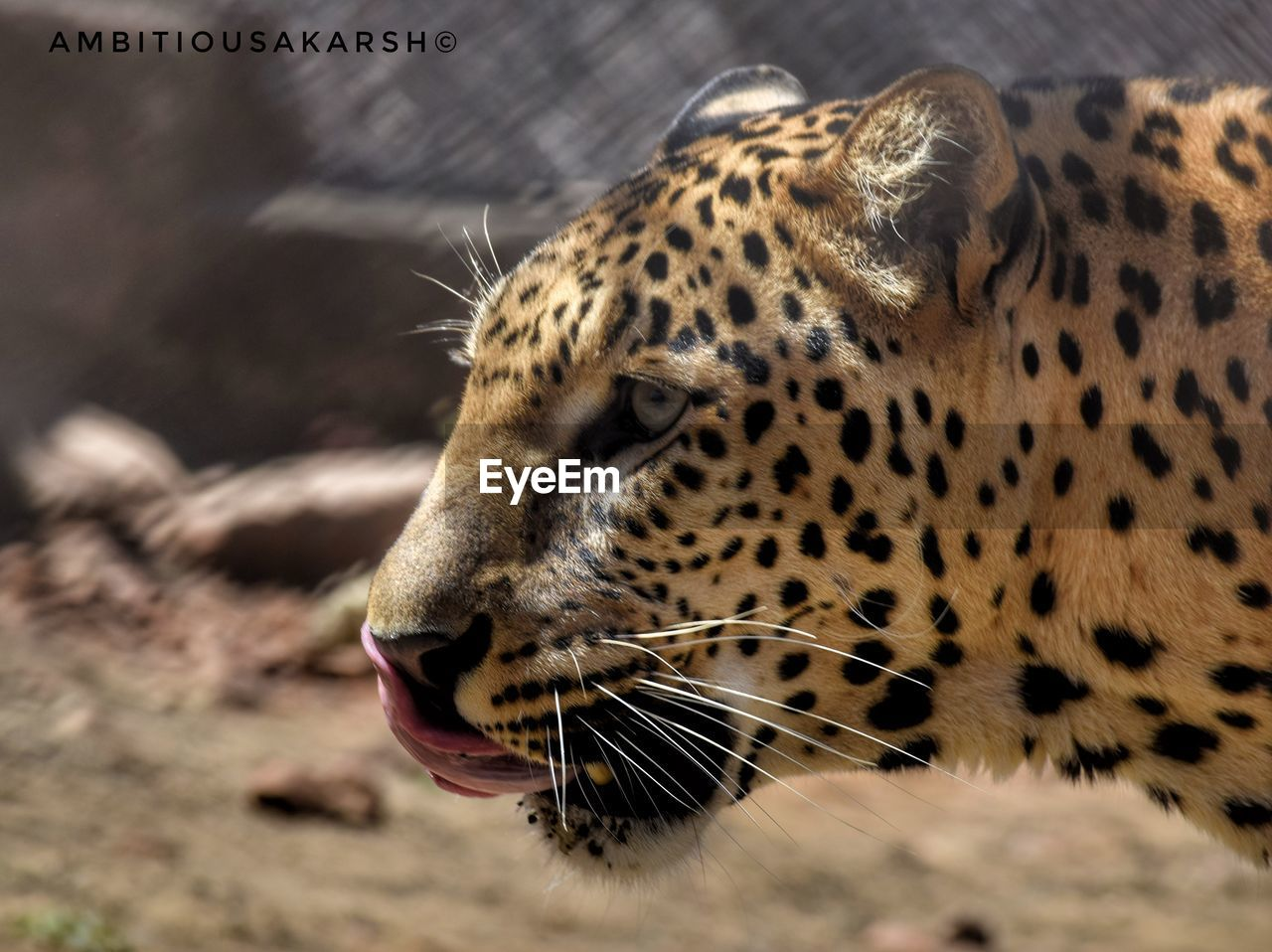 one animal, animals in the wild, animal themes, focus on foreground, close-up, mammal, leopard, animal head, no people, day, animal wildlife, outdoors, safari animals, nature