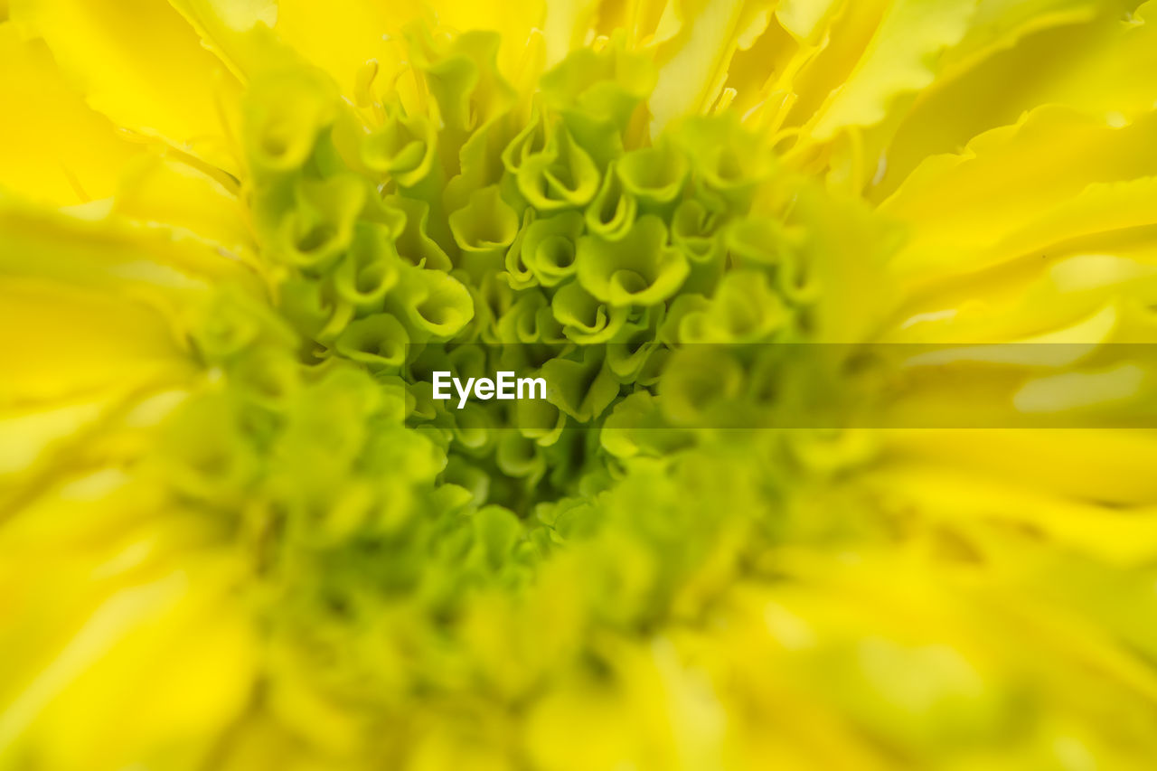 freshness, flower, green color, yellow, beauty in nature, fragility, nature, selective focus, close-up, petal, growth, no people, full frame, flower head, plant, backgrounds, day, outdoors, passion flower