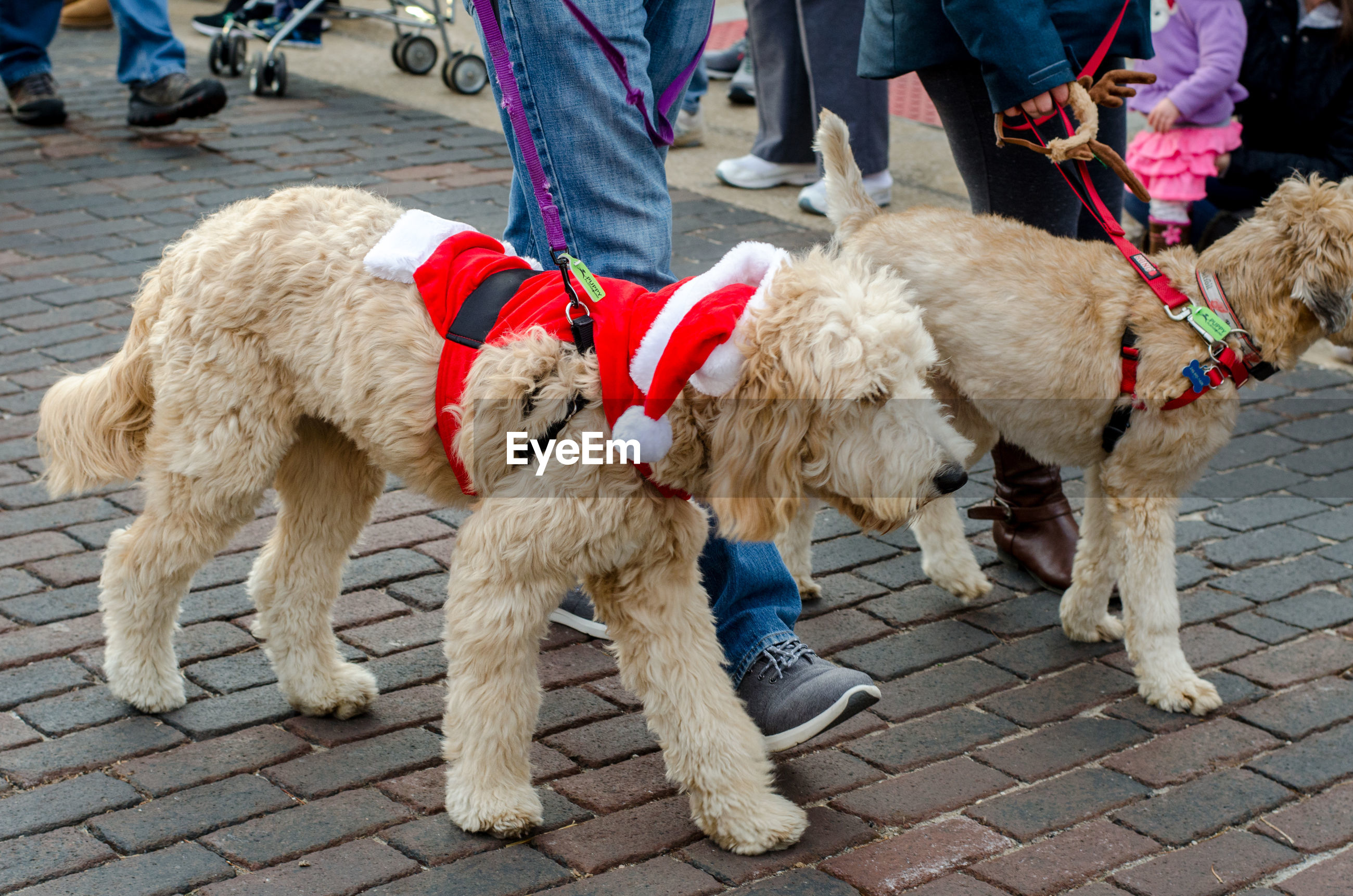 Curly haired dogs in santa costumes, participate in annual reindog parade in st joseph mi usa