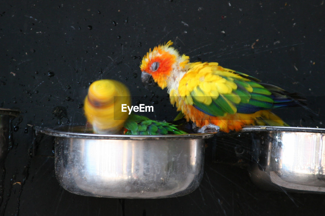 bird, animal themes, animal, vertebrate, yellow, group of animals, parrot, no people, metal, domestic, nature, container, pets, domestic animals, animal wildlife, day, animals in the wild, livestock, two animals, outdoors