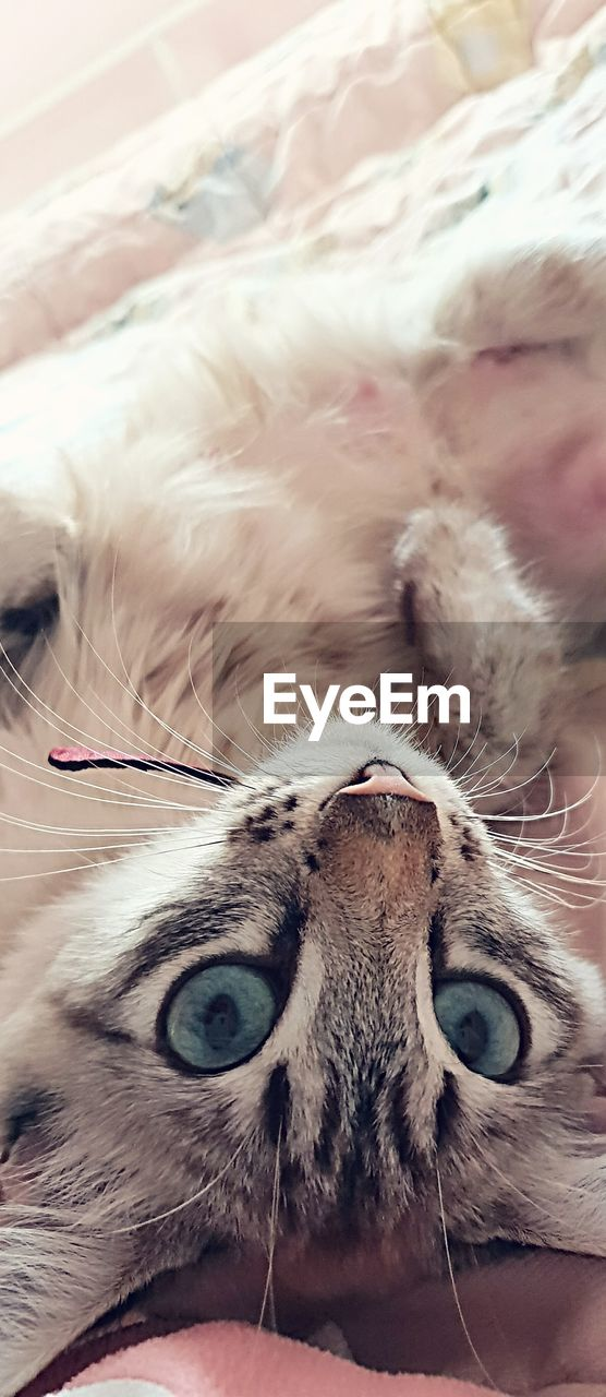 domestic, mammal, one animal, pets, domestic animals, looking at camera, cat, close-up, portrait, domestic cat, feline, animal body part, eye, vertebrate, animal eye, no people, whisker, body part, eyeball, eyebrow