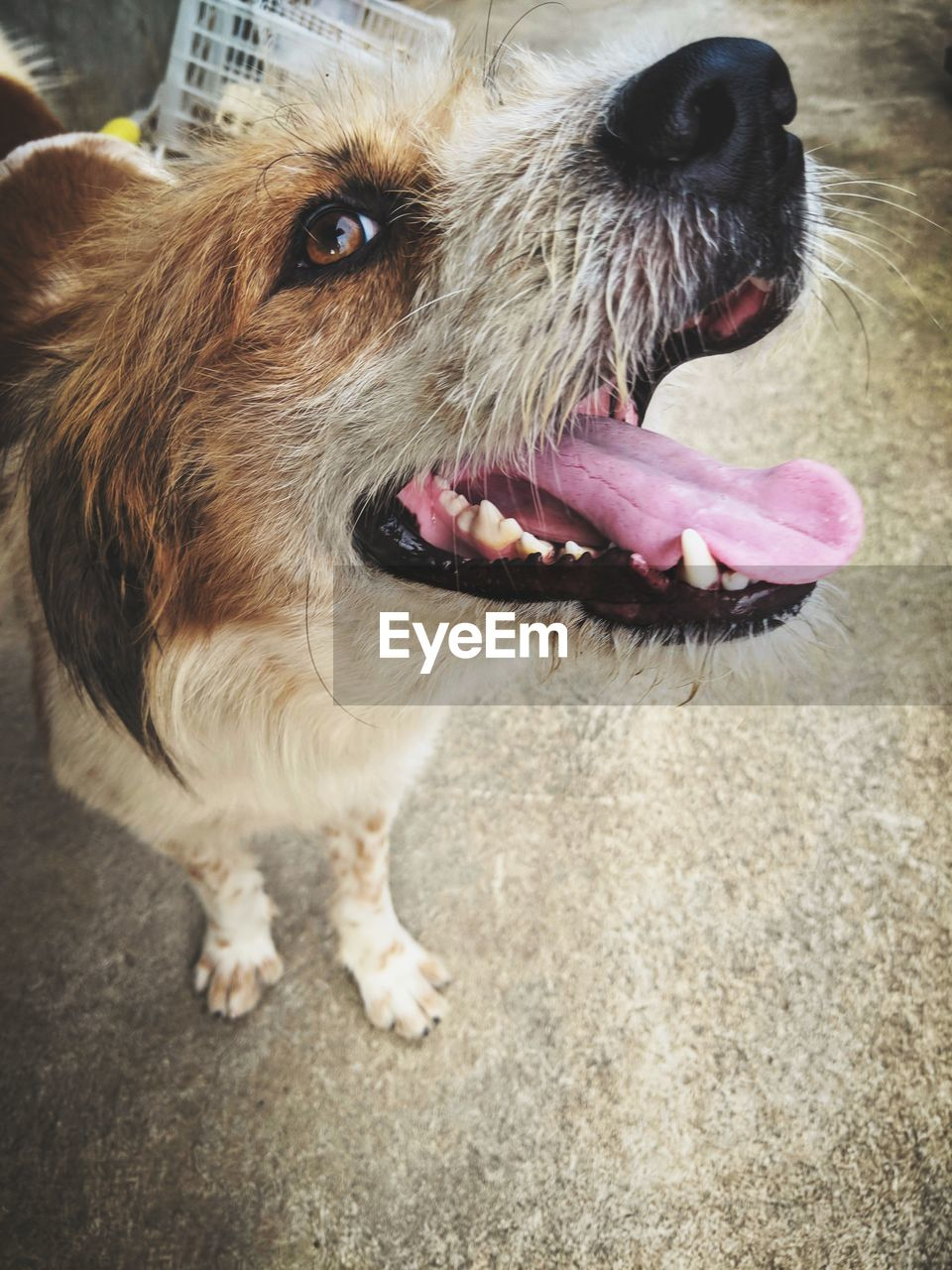 one animal, animal themes, dog, canine, pets, animal, domestic, domestic animals, mammal, vertebrate, close-up, no people, animal body part, looking, day, mouth open, portrait, mouth, looking away, animal tongue, animal head, animal mouth