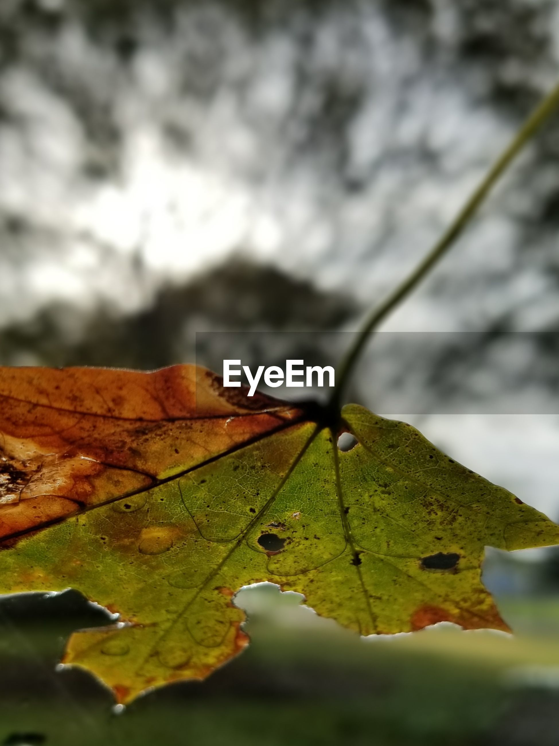 leaf, autumn, change, nature, maple leaf, maple, close-up, outdoors, day, beauty in nature, water, no people, fragility