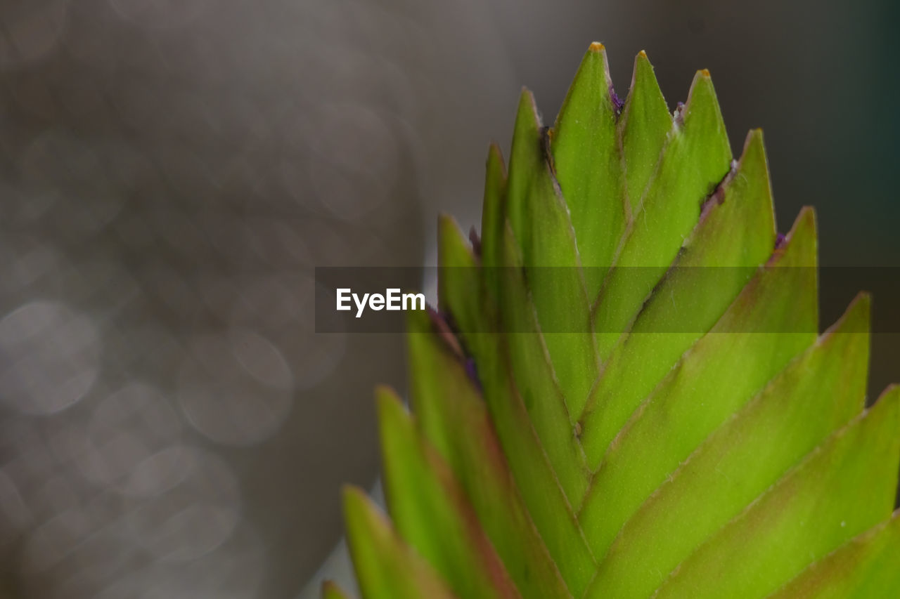 green color, growth, close-up, nature, no people, plant, beauty in nature, succulent plant, leaf, plant part, day, selective focus, focus on foreground, aloe vera plant, cactus, sunlight, thorn, outdoors, natural pattern, spiked, spiky