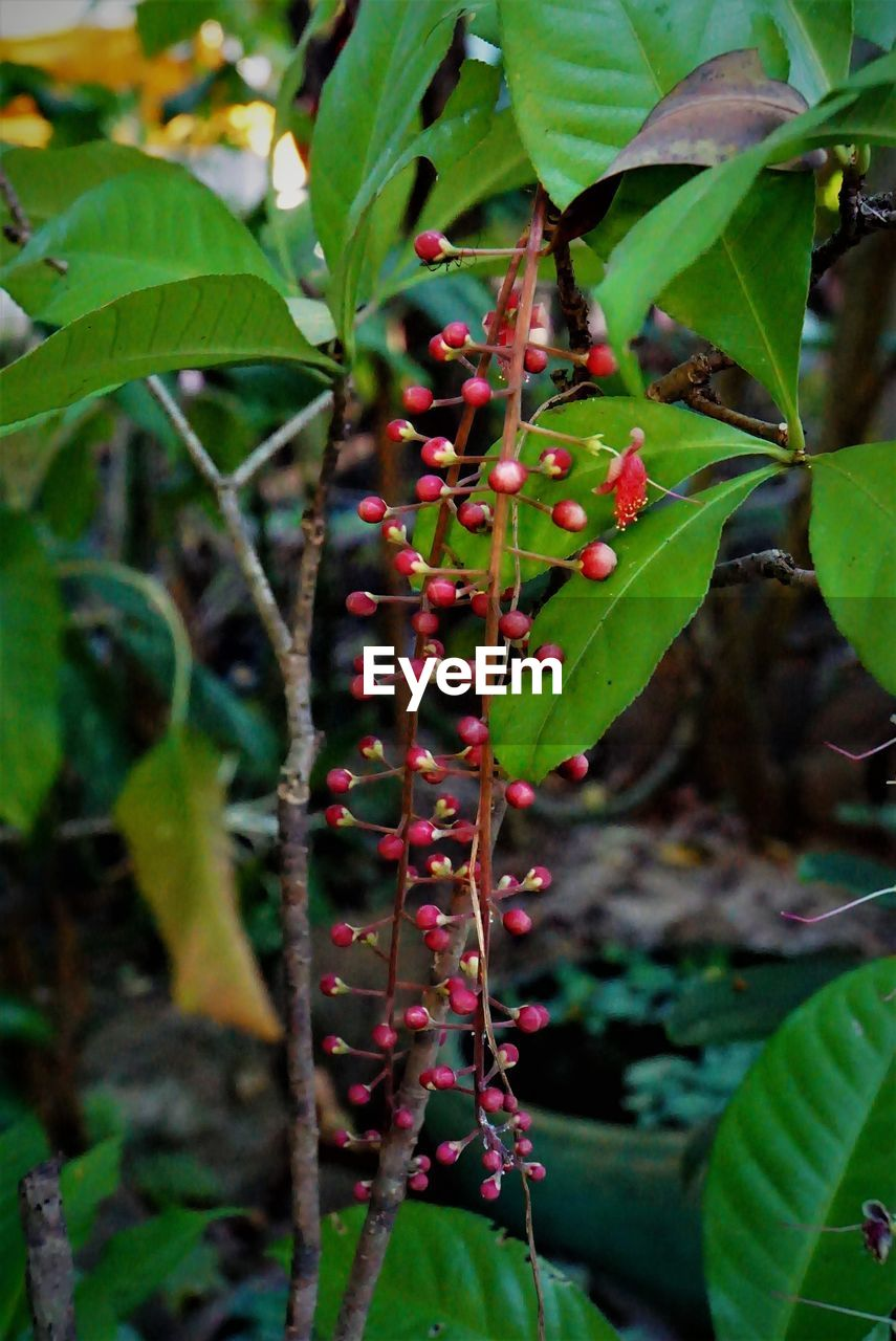 growth, leaf, fruit, red, food and drink, green color, plant, growing, nature, outdoors, day, focus on foreground, tree, no people, food, freshness, beauty in nature, close-up, branch