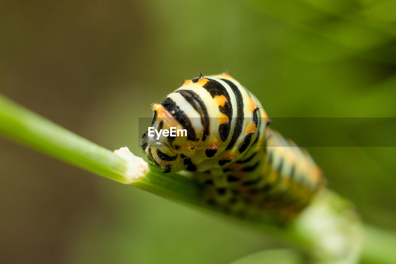 animal wildlife, animals in the wild, animal themes, one animal, animal, invertebrate, insect, close-up, selective focus, nature, no people, beauty in nature, animal markings, caterpillar, day, green color, plant, striped, outdoors, plant part