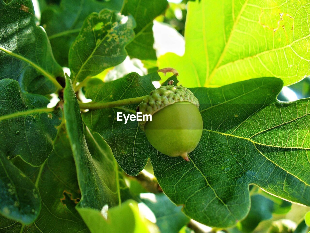 leaf, green color, growth, food and drink, nature, close-up, day, no people, plant, freshness, food, fruit, outdoors, beauty in nature, acorn, animal themes