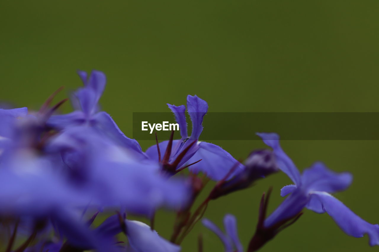 flowering plant, flower, plant, vulnerability, beauty in nature, fragility, petal, close-up, freshness, selective focus, growth, purple, flower head, inflorescence, nature, no people, blue, outdoors, day, botany, iris - plant
