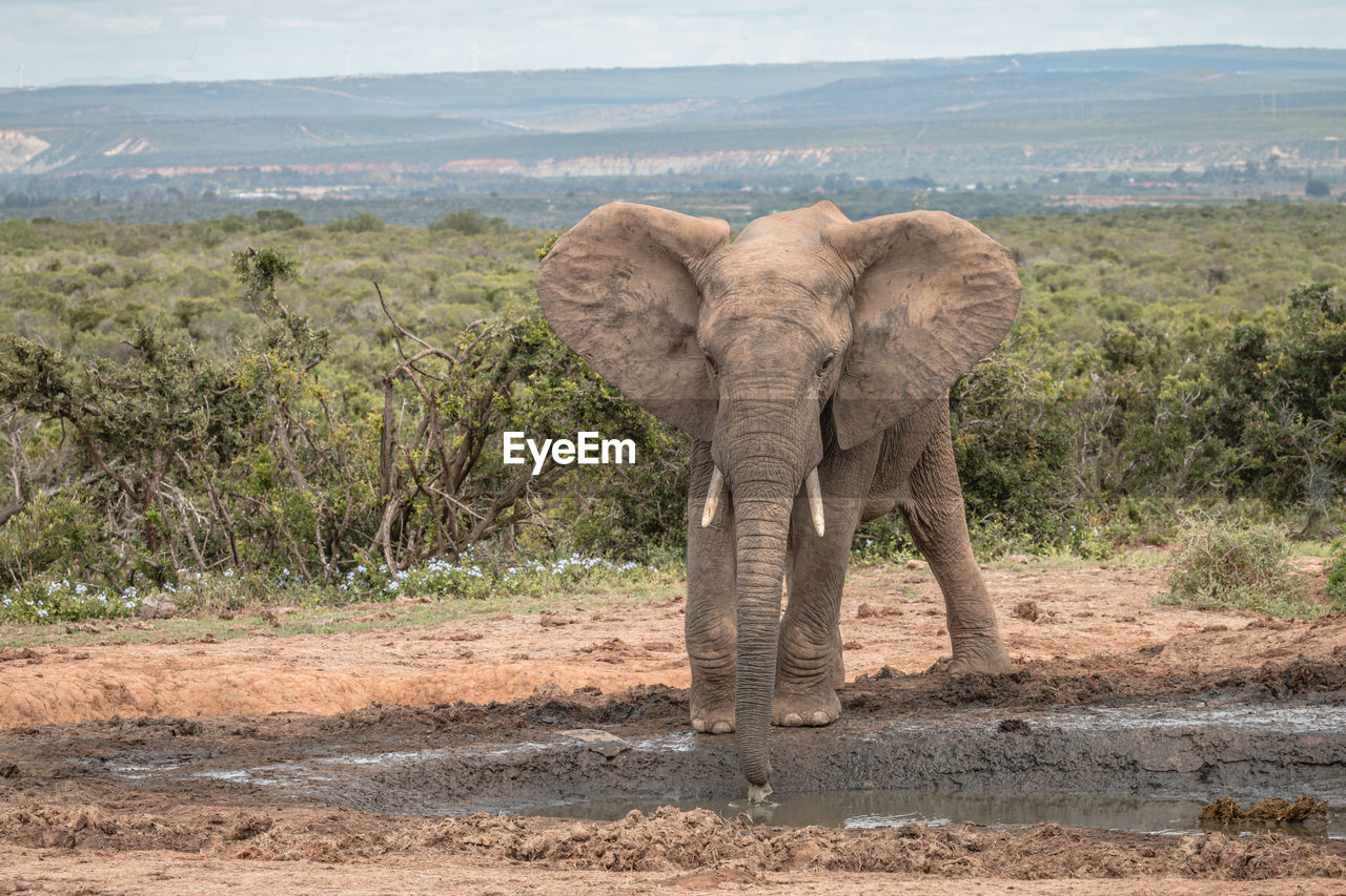 VIEW OF ELEPHANT IN A FIELD