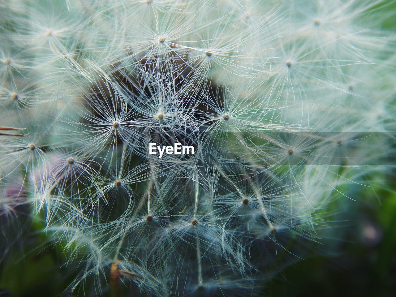 Macro Shot Of Dandelion Seed