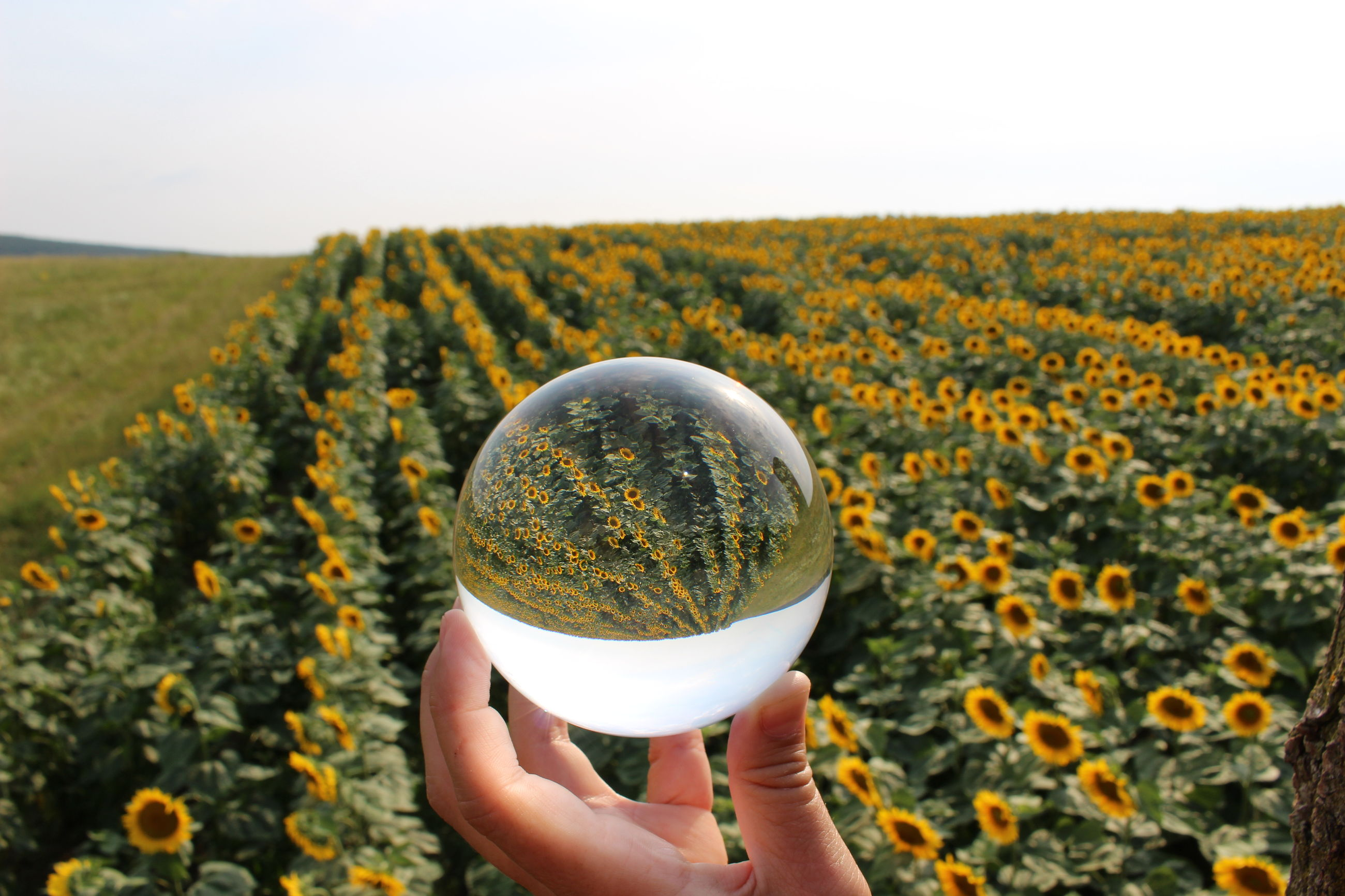 Midsection of person holding lensball over the sunflowers.