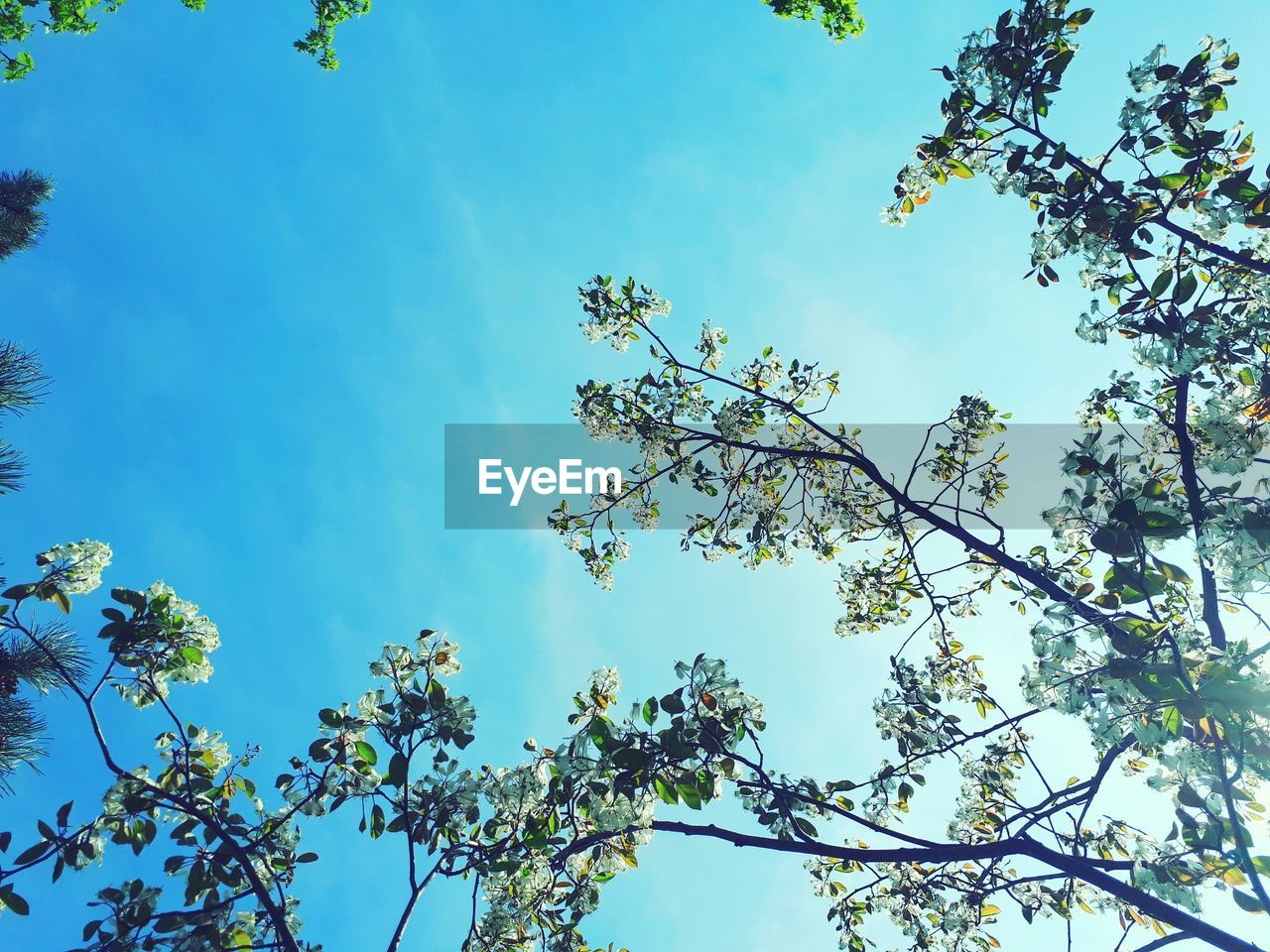plant, tree, sky, low angle view, growth, beauty in nature, branch, nature, day, no people, flower, blue, flowering plant, tranquility, cloud - sky, blossom, sunlight, outdoors, freshness, fragility, spring, cherry blossom
