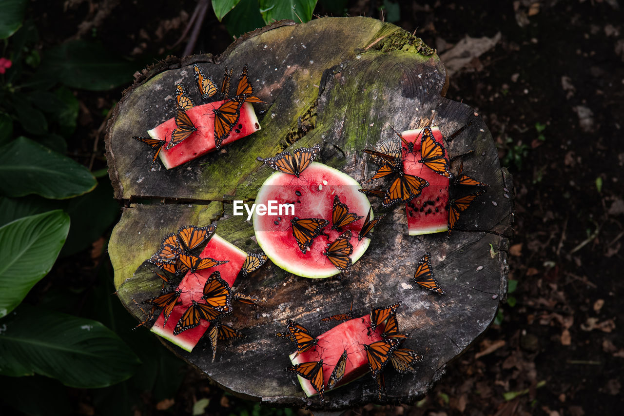 Directly above shot of butterflies over watermelon on tree stump