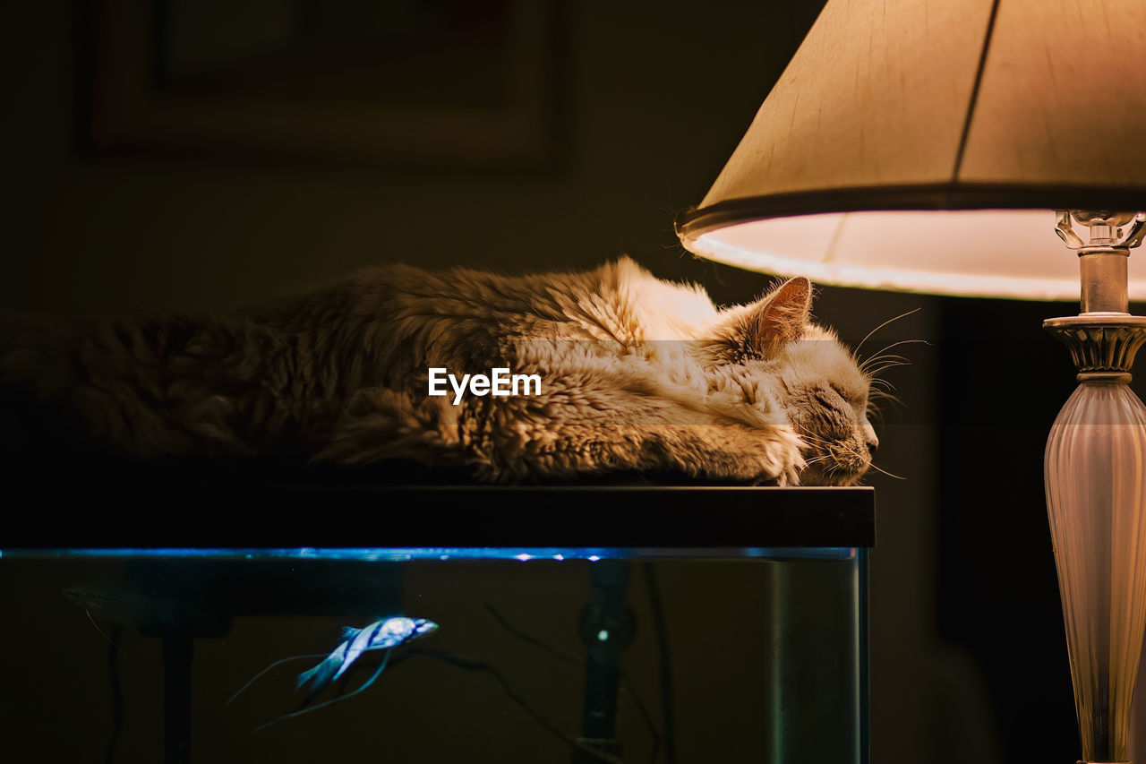 mammal, domestic, animal themes, pets, animal, domestic animals, one animal, vertebrate, indoors, cat, domestic cat, feline, lighting equipment, relaxation, no people, illuminated, electric lamp, home interior, lamp shade, furniture, whisker