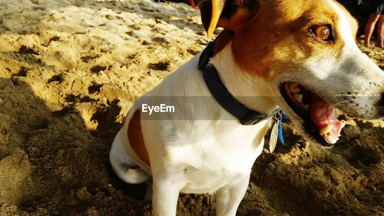 dog, animal themes, domestic animals, pets, one animal, mammal, sand, no people, outdoors, day, beach, close-up, nature