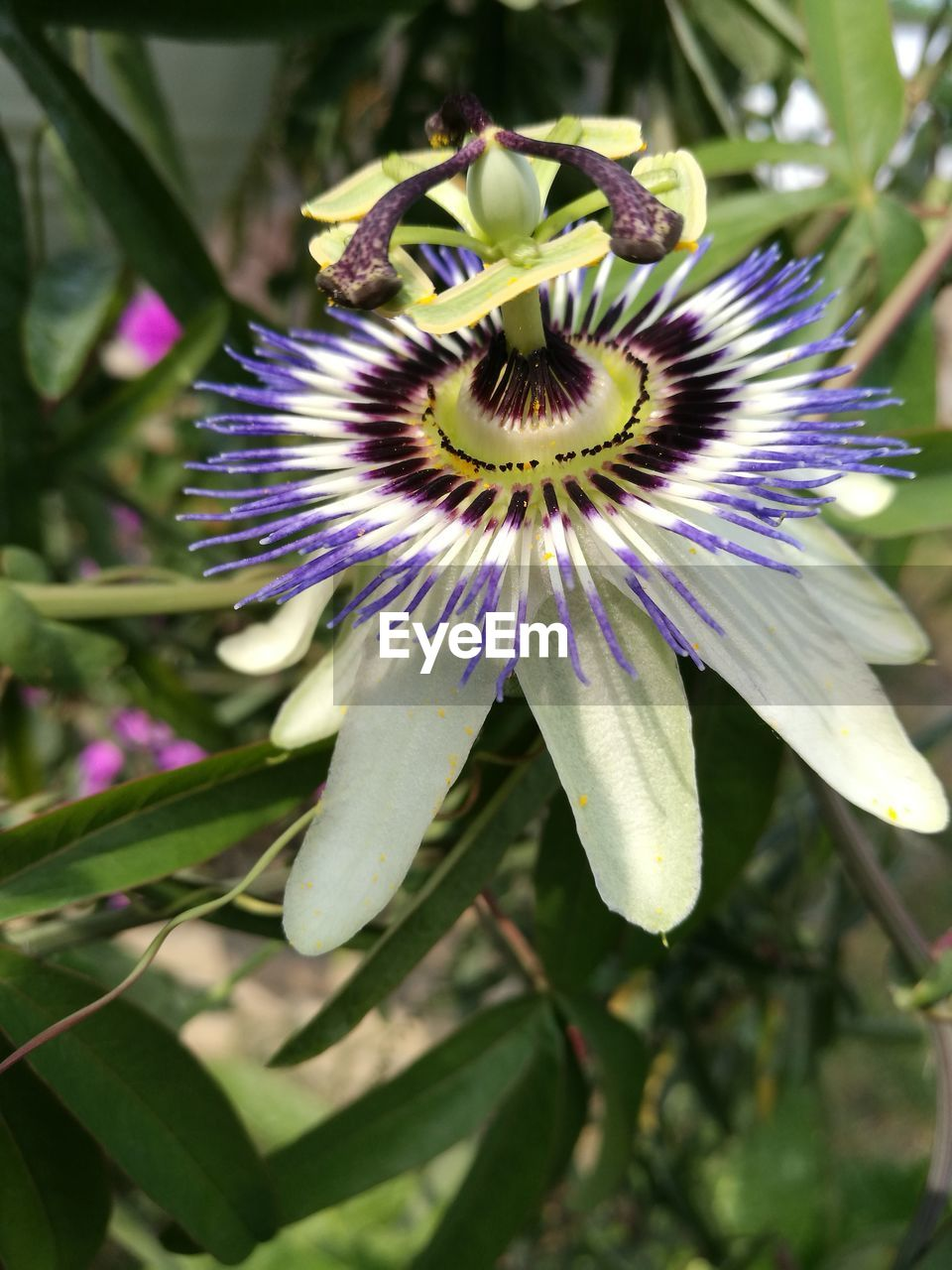 flower, fragility, freshness, petal, growth, beauty in nature, flower head, passion flower, nature, day, purple, plant, close-up, pollen, stamen, no people, outdoors, blooming, springtime