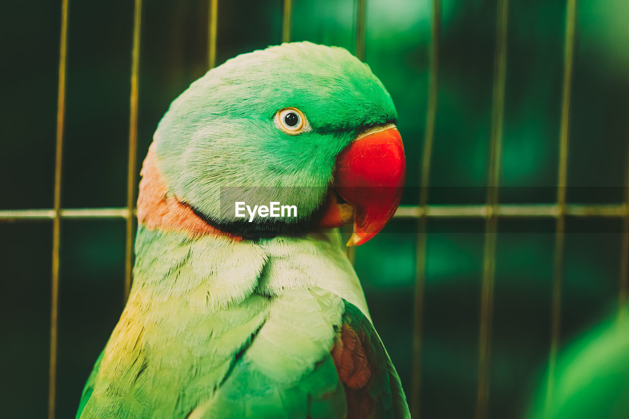 vertebrate, bird, animal themes, animal, one animal, animal wildlife, parrot, close-up, animals in the wild, beak, cage, focus on foreground, green color, no people, birdcage, animals in captivity, day, animal body part, nature, multi colored, animal head, animal eye
