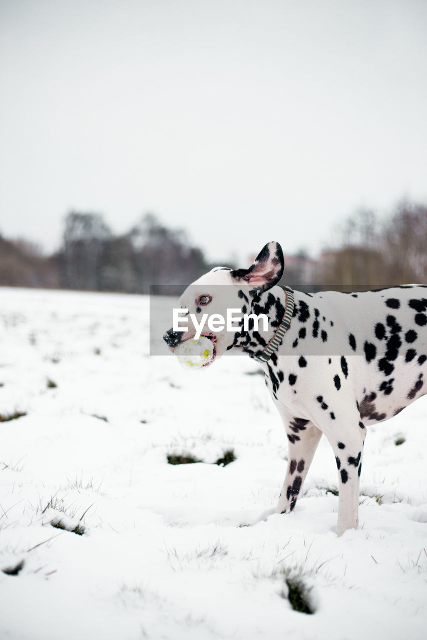 Dalmatian Dog On Snow Covered Field During Winter