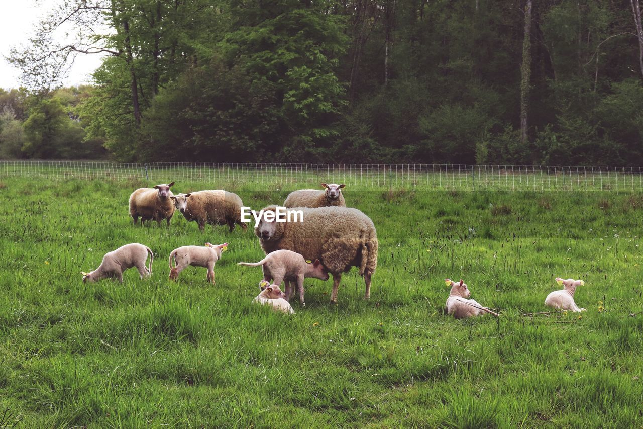 plant, animal themes, animal, group of animals, land, field, grass, vertebrate, tree, domestic animals, mammal, domestic, green color, nature, large group of animals, pets, livestock, landscape, growth, day, no people, herbivorous, herd