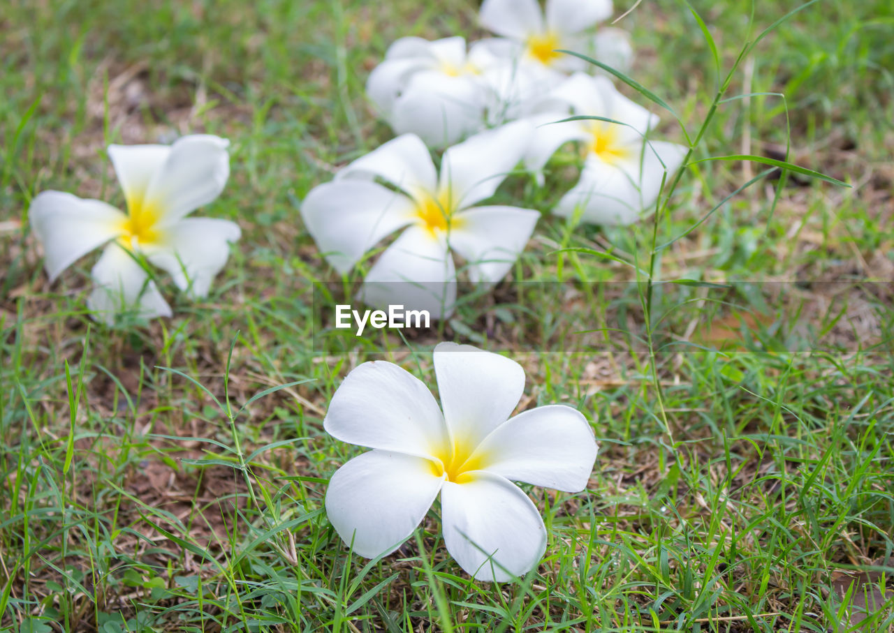 flower, white color, petal, fragility, flower head, beauty in nature, nature, growth, field, high angle view, blooming, no people, freshness, plant, day, outdoors, close-up, frangipani, snowdrop, crocus, periwinkle