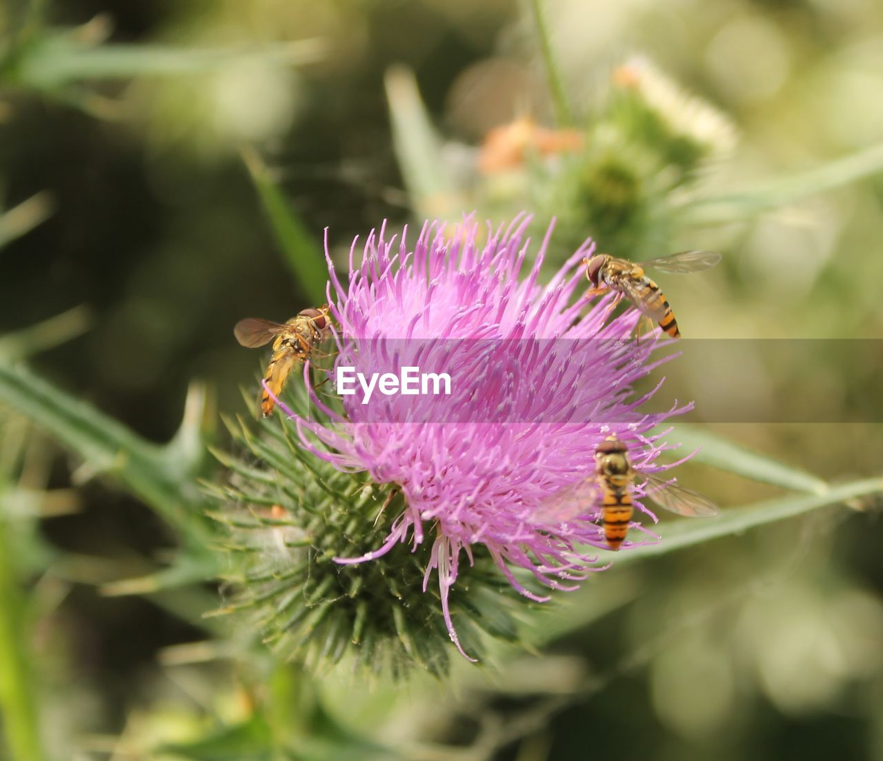 flower, nature, growth, beauty in nature, fragility, plant, insect, purple, one animal, no people, day, focus on foreground, close-up, animal themes, petal, outdoors, freshness, flower head, thistle, animals in the wild, pollination, bee, passion flower