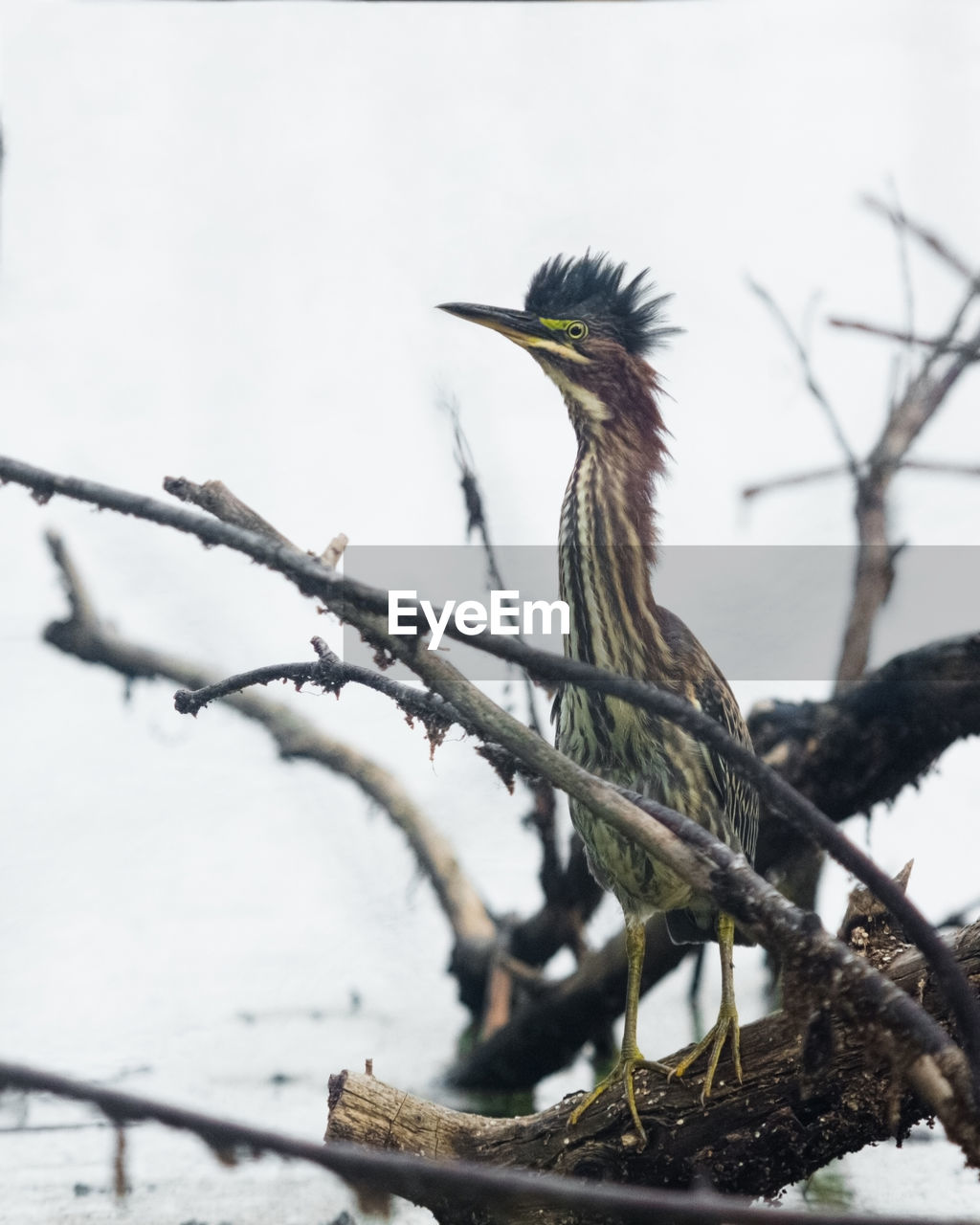 bird, vertebrate, one animal, animals in the wild, animal themes, animal wildlife, animal, perching, branch, tree, plant, focus on foreground, nature, no people, day, cold temperature, winter, snow, beak, outdoors