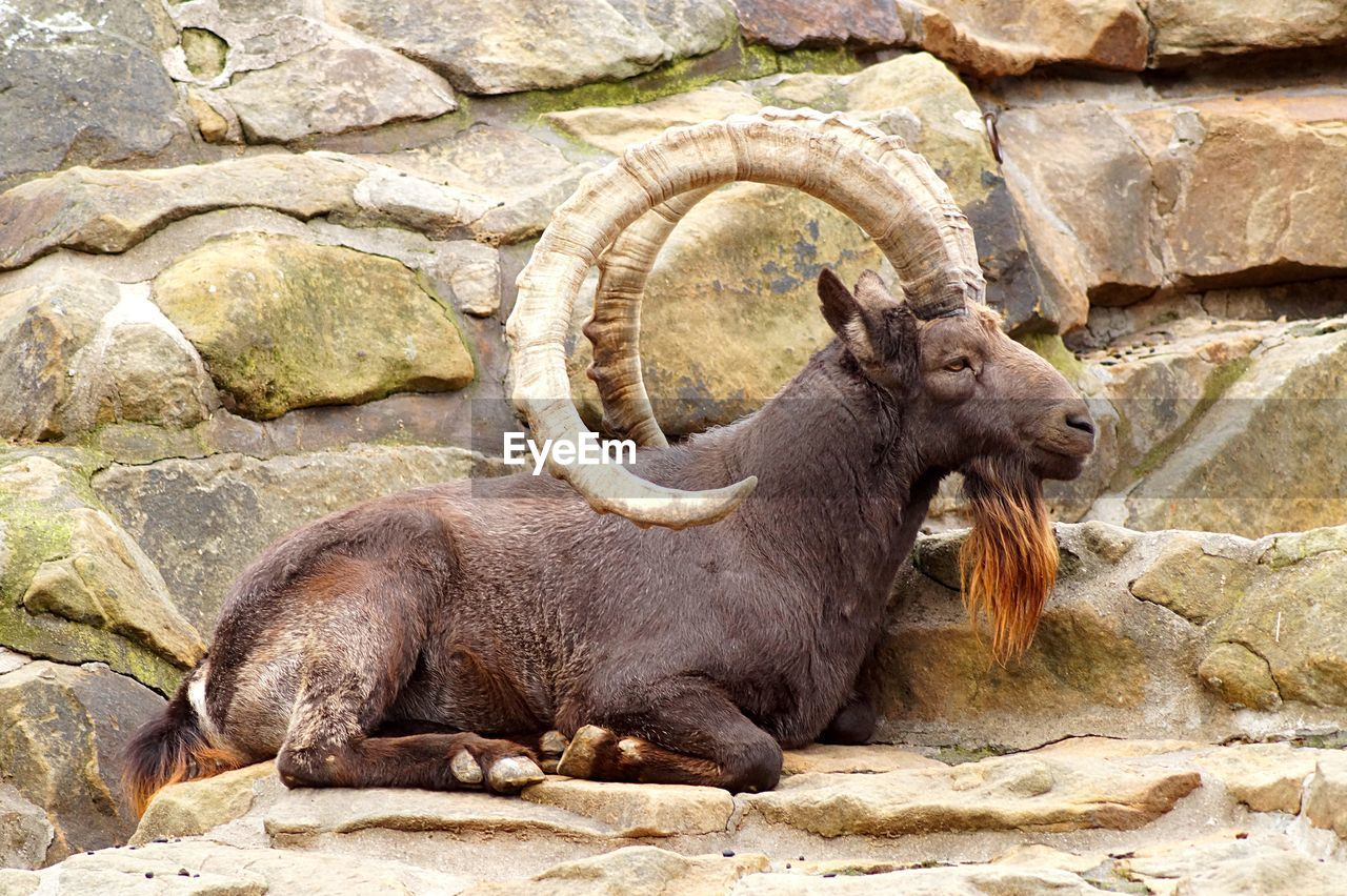 Side View Of Walia Ibex Lying On Rock Against Stone Wall At Zoo